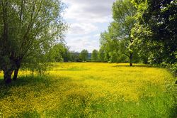 Buttercups but no daisies, Westbury-on-Severn