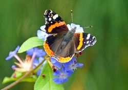 Red Admiral Butterfly at Abbotsbury Garden