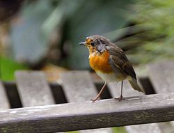 Robin at Abbotsbury Tropical Garden