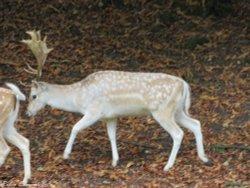 A stag (deer) roaming in Dyrham Park, Dyrham.
