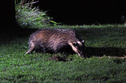 Badger boar, Suffolk