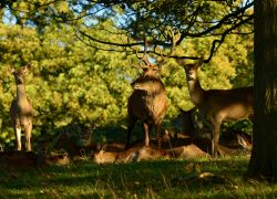 Red stag standing over his ladies at Chatsworth House this afternoon.