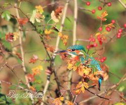 Kingfisher, Hyndburn, Lancashire