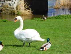 Swans on Avon