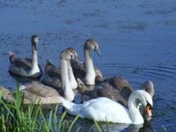 New swans