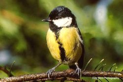 Great Tit, Acton Turville, Gloucestershire 1992
