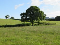 Picturesque tree in a picturesque field near Pilsdon, Dorset
