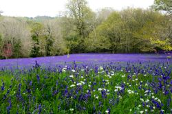 Bluebells, Park Lye,  Enys Gardens, Gluvias, Penryn,Cornwall Wallpaper