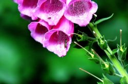 Yettington foxgloves