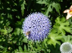 Southover Grange Gardens, Lewes.  Bee on Allium