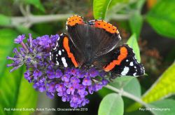 Red Admiral Butterfly, Acton Turville, Gloucestershire 2019