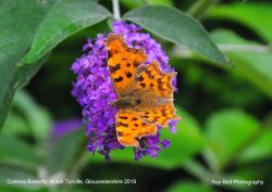 Comma Butterfly, Acton Turville, Gloucestershire 2019