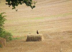 Pheasant in a freshly cropped field in Carhampton, near Minehead, Somerset