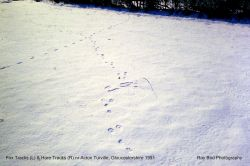 Fox Tracks (L) & Hare Tracks (R), nr Acton Turville, Gloucestershire 1991