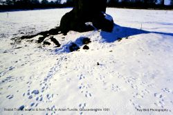 Rabbit Tracks to & from Tree, nr Acton Turville, Gloucestershire 1991
