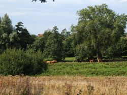 Cattle on Thorington Marsh