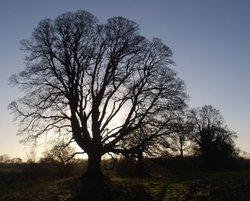 Robin Hood's Tree