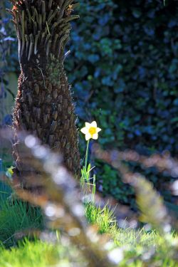 A lonely daffodil in Budleigh