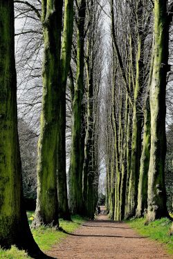 Avenue of Lime Trees at  Wentworth Castle near Barnsley