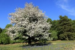 Crab Apple Tree, Bunkers Hill, Ashdown Forest, East Sussex