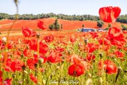 Beauty of Bewdley poppy fields