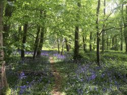 Bluebell wood, Cawston