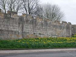 Daffodils outside the city walls of York