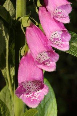 Fox Glove Flowers in my garden at Caversham