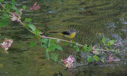 Grey Wagtail on the Darent