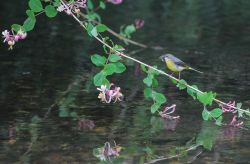 Grey Wagtail on the Darent.