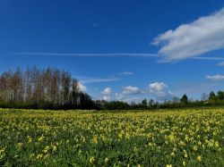 Cowslips at Dearne Valley Old Moor
