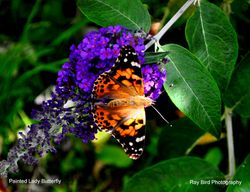 Painted Lady Butterfly, Acton Turville, Gloucestershire 2020 Wallpaper