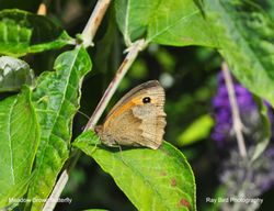 Meadow Brown Butterfly, Acton Turville, Gloucestershire 2020
