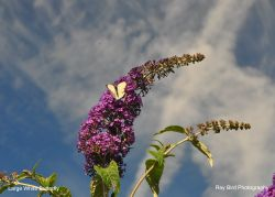 Large White Butterfly, Acton Turville, Gloucestershire 2020 Wallpaper