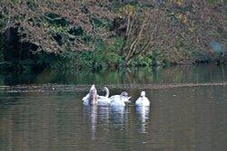 Bicton swans