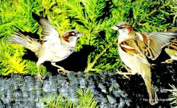 House Sparrows, Acton Turville, Gloucestershire Wallpaper