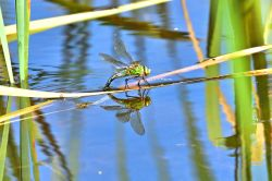 Female Emperor (Anax Imperator) with Reflection, Ovipositing on Littleworth Common