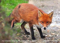 Fox in Garden, Acton Turville, Gloucestershire 2021 Wallpaper