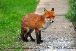 Fox in Garden, Acton Turville, Gloucestershire 2021