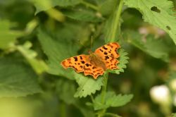 Comma Butterfly (Polygonia c-album) Male in Whiteley Woods