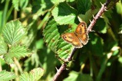 Gatekeeper (Pyronia Tithonus) in Whiteley Woods