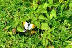 Orange-tip (Anthocharis Cardamines) Male in Whiteley Woods