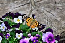 Painted Lady (Vanessa Cardui) in Whiteley Village