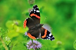 Red Admiral (Vanessa Atalanta) Male, Freshly Emerged from its Chrysalis