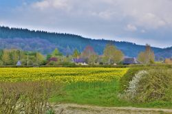 Oilseed Rape fields at Elton, Herefordshire.
