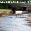 Cow crossing river