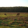 Ponies grazing in The New Forest, Hampshire