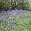 Bluebells. The Blackdown hills in the county of Somerset, England -