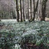 Snowdrops at Otterhead. The Blackdown hills in the county of Somerset, England -