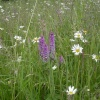 Wild Orchid. The Blackdown hills in the county of Somerset, England -
